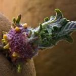 rostki-kartofelya