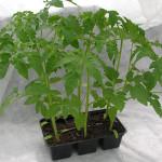vyisadka-rassadyi-pomidor