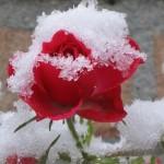 ukryitie-roz-na-zimu
