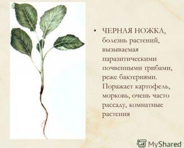 chyornaya-nozhka