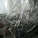накрыть стаканчики с рассадой прозрачным пакетом