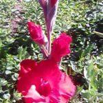 krasnyiy-gladiolus
