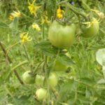 pomidoryi-rastut